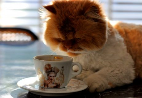 7120_Big-fluffy-cat-drinking-coffee-in-the-morning
