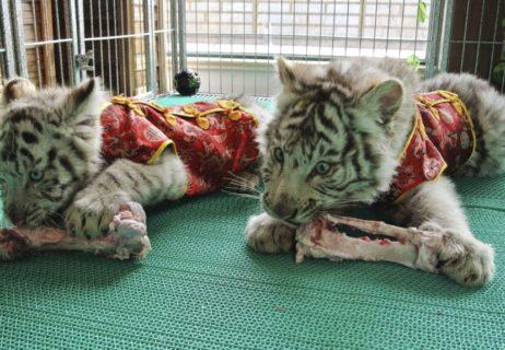 Bengali white tiger